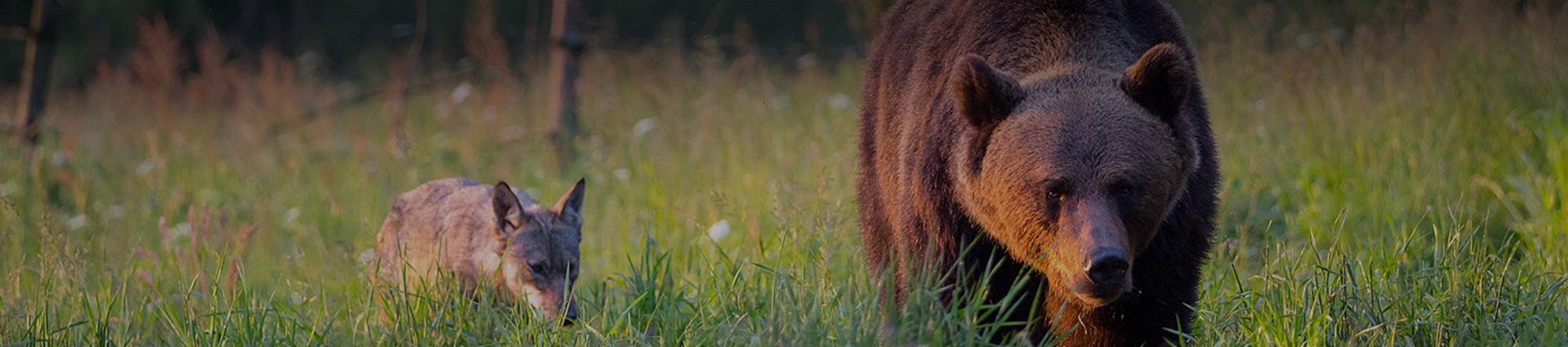 niedźwiedź z wilkiem